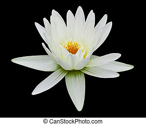 white water lily isolated