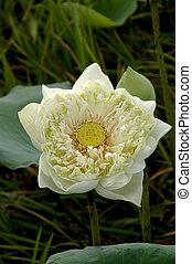 White water lily, lotus.