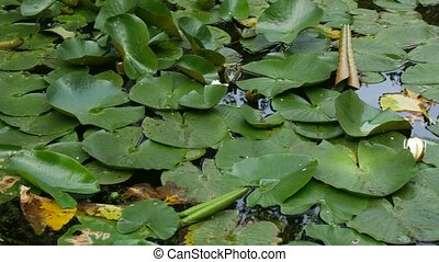 White water lily - Nymphaea alba. Water plant, a species of ...