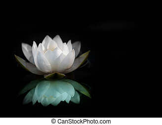 White water lily reflected in water, with black background