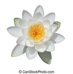 White Water Lily - Water lily flower isolated on white...