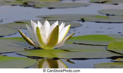 White Water Lily - White water lily closeup in a lake