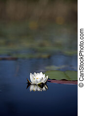 white water lily in a pond with blue water