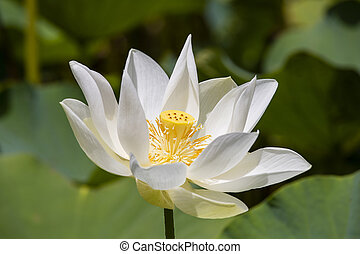White water lotus in Pamplemousse Botanical Garden. Island Mauritius