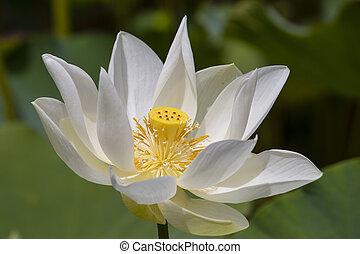 White water lotus in Pamplemousse Botanical Garden. Island Mauritius