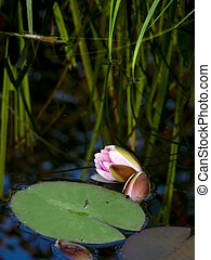 White waterlily. A water flower.