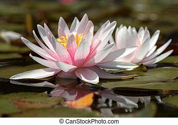 White waterlily flower on lake.