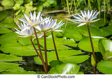 White waterlily flowers on lake.