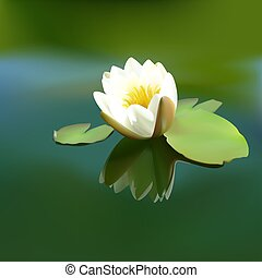 White waterlily - White water-lily (Nymphaea alba) - High...