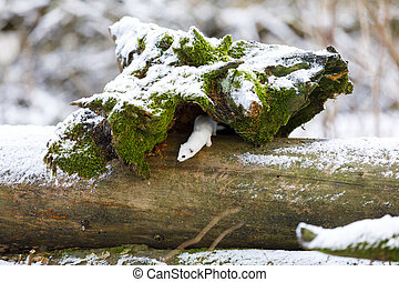 White weasel on an old tree stump in winter