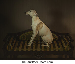 White whippet dog is sitting on the striped sofa on gray background