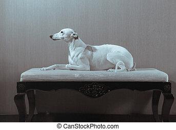 White whippet dog lies on the white sofa on gray background