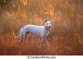 white whippet dog
