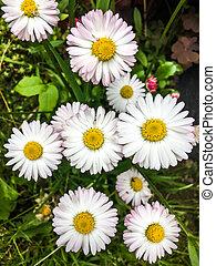 White wild daisies on a green meadow
