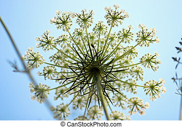 White wild flower inflorescence - A close up of a white wild...