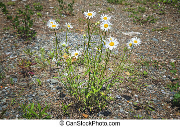 White wild flowers of chamomile. Blooming chamomile. Chamomile flowers on a meadow in summer.