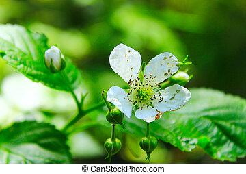 wild raspberry flower in the forest