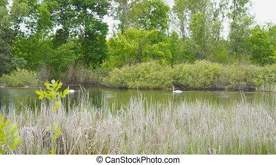 White wild swans on lake
