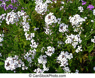 White wildflowers - Close-up on white wildflowers on a...