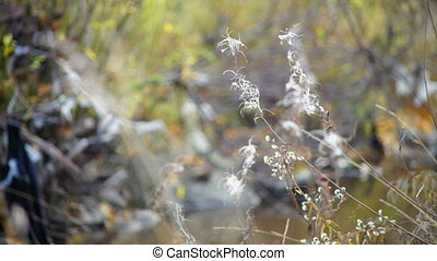White willow-herbs in autumn forest - Forest view with white...