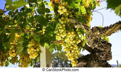 White wine grape
