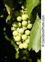 White wine grapes in vineyard
