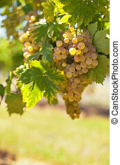 White wine grapes - Ripe white wine grapes on a sunny day