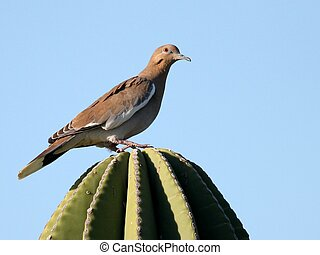 White-winged Dove in Mexico