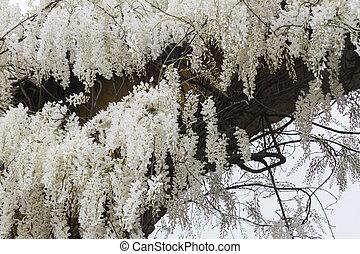 white wisteria in spring
