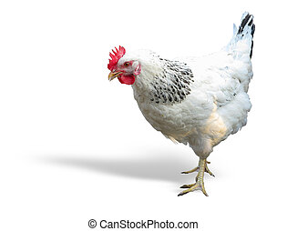 White with black chicken isolated over white