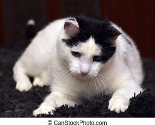 white with black spots on the face of a cat