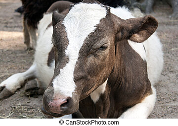 White with brown calf lying on the ground