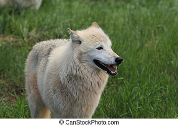 White wolf in the spring grass