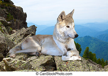 White wolf lays on stone