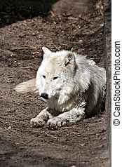 White wolf lies calmly and eases