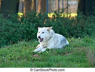 White wolf snarls