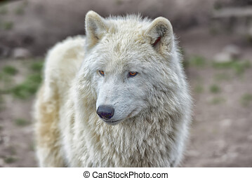 White wolf - White arctic wolf in a zoo.