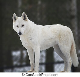White Wolf - white timber wolf in winter
