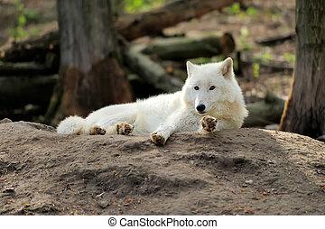 White wolf - Wild white wolf in the woods