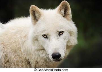 white wolf - Wolf is sleep in nature. Artic wolf in mud. ...