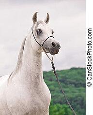 white wonderful arabian stallion at mountain background