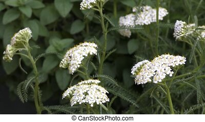 White yarrow flowers in front of green plants