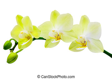 White-yellow orchid on a white background