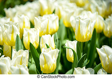 White-Yellow tulips in the garden