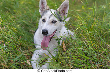 White young dog lying in summer wild grass