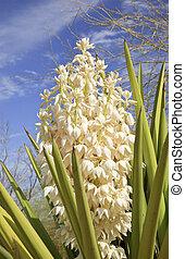 White Yucca Cactus Flowers Blossums Desert Botanical Garden...