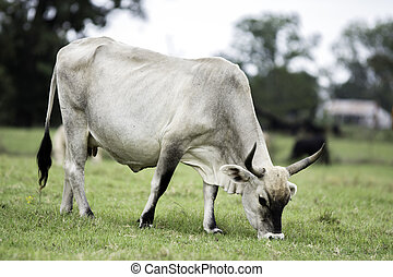 White zebu cross cow grazing