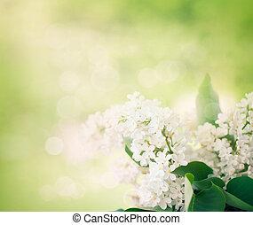 whitelilac, bloemen, in de tuin