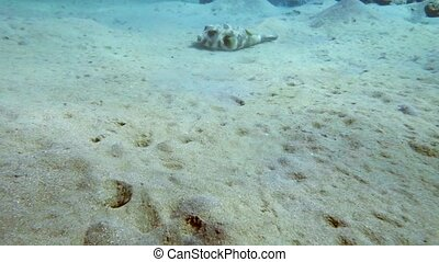 Whitespotted puffer Arothron hispidus swimming close to the...