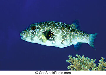Whitespotted puffer - Whitespotted Puffer (Arothron hispidus...